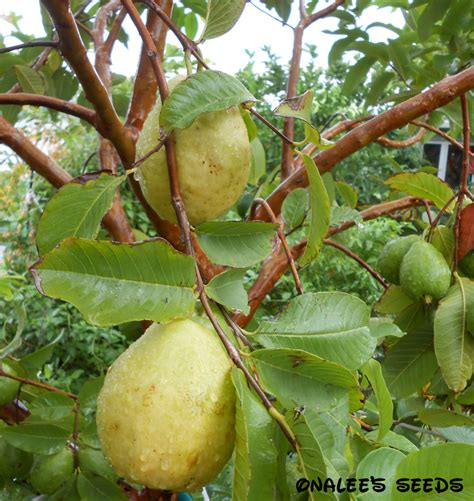 tropical fruit trees for sale uk 24 white florida pear guava tropical fruit tree seeds