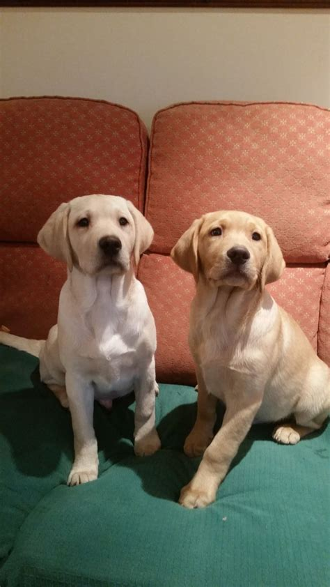 golden retriever puppies for sale wausau wisconsin year ago for sale dogs labrador retriever northwich