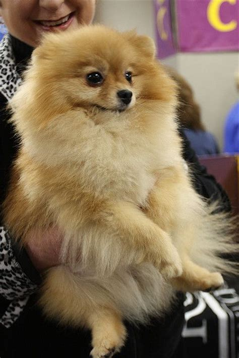 how much is a baby pomeranian 116 best images about pomeranian s on teacup pomeranian puppy micro
