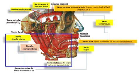 nervio vestibular nervio alveolar inferior o dentario inferior con sus