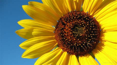 sunflower widescreen wallpaper  android outdoors