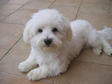 Album Photos Bichon Maltais Elevage Canin Dunkerque Nord