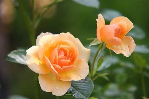 bunga sempurna  bunga tidak sempurna beserta contohnya