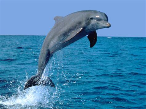 The Dolphin dolphin