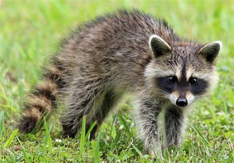 raccoon images raccoon images 183 pixabay 183 free pictures