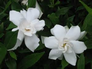 Gardenia Jasminoides Frostproof Frostproof Gardenia Is A Tough And Beautiful New