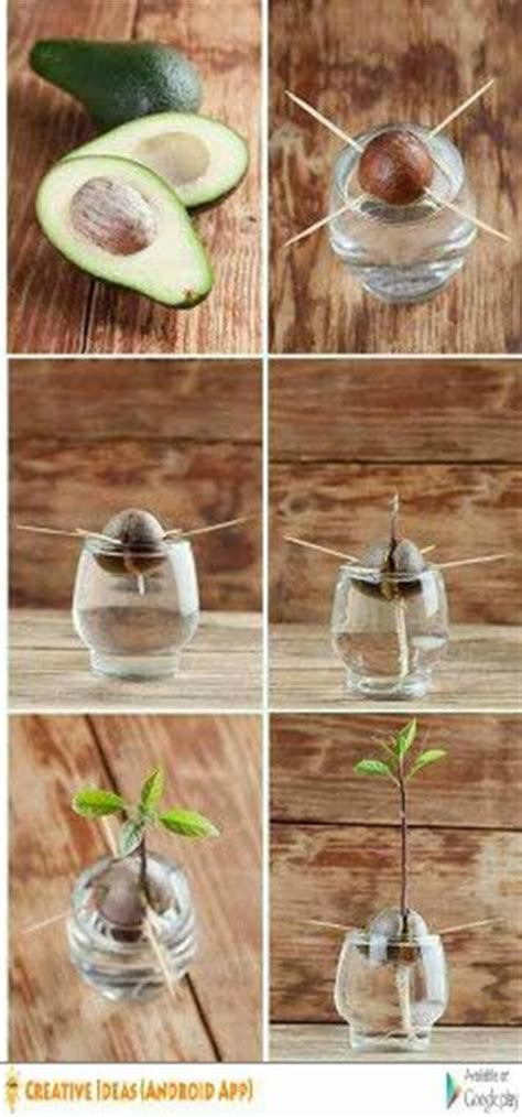plant avocado seed growing  avocado tree