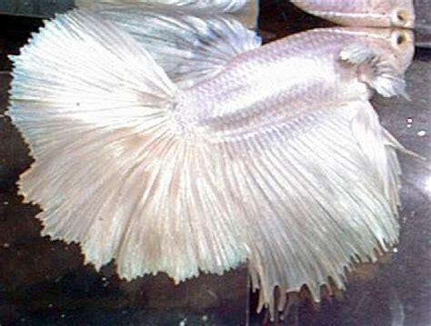 Pakan Ikan Cupang Selain Jentik Nyamuk khemem botzsee budidaya ikan cupang