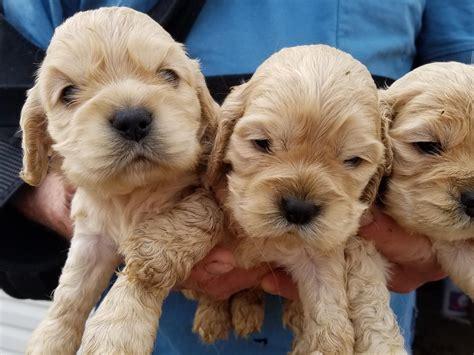 cocker spaniel puppies for sale in tn cocker spaniel for sale by freida american kennel club