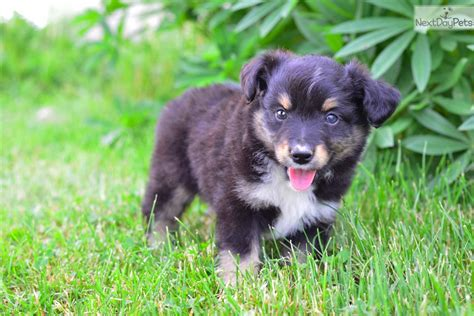 australian shepherd puppies ohio max miniature australian shepherd puppy for sale near cleveland ohio 5d5b16f2 4e91