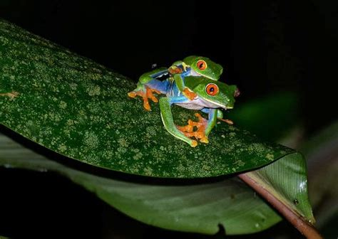 interesting facts  red eyed tree frogs facts