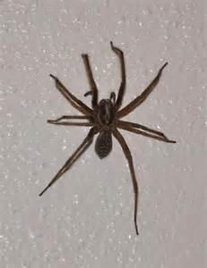 minnesota spiders brown hairs