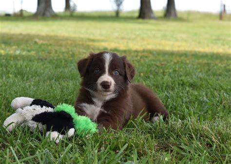 border collie puppies for sale in missouri border collie pups for sale in missouri