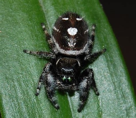 Garden Jumping Spider Poisonous Jumping Fuzzy Spiders Photos Of America S Best Lifechangers