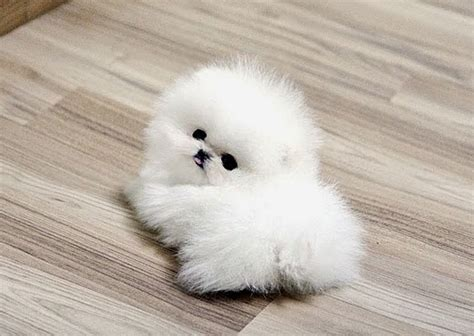 smallest pomeranian in the world 5 smallest puppies you seen mostly pugs small puppies