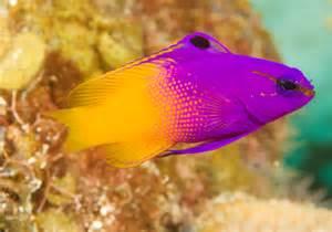 Royal Gramma   Saltwater Fish   Tropical Fish Forums