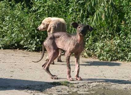 dogs without fur without fur