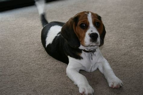 beaglier puppies beaglier beagle x cavalier king charles spaniel mix temperament puppies pictures