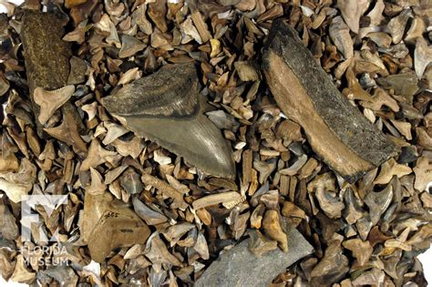 Find In Florida Where To Find Shark Teeth In Florida Shark