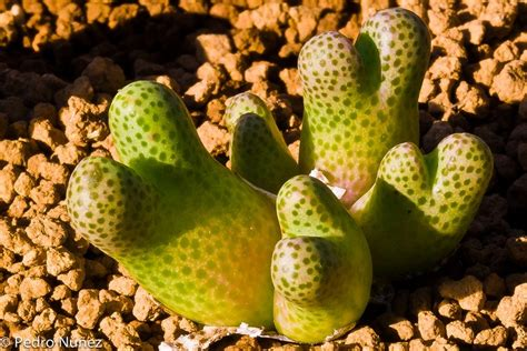interesting succulents rare and unusual succulent plants old discussions