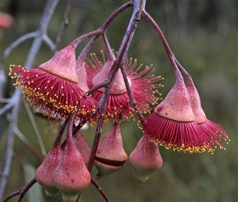 fiori australiani elenco australian flowers what are they and which are their