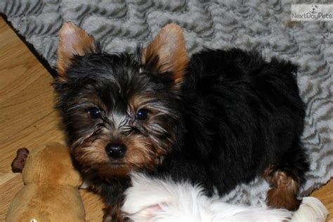 yorkies in colorado meet belvidere a terrier yorkie puppy for sale for 1 000 yorkie