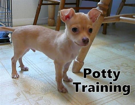 how to potty a chihuahua puppy 31 best housebreaking puppies images on pets and doggies