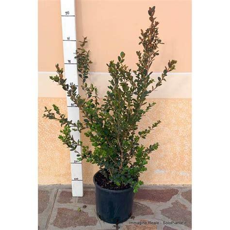 bosso in vaso bosso faulkner buxus sempervirens faulkner 20 cm