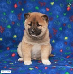 shiba inu shih tzu mix 1000 images about puppies on puppies for sale pennsylvania and
