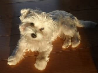 morkie haircuts long ears morkie haircuts www pixshark com images galleries with