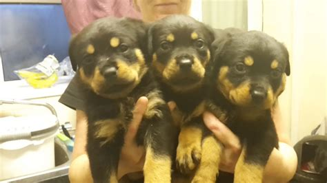 rottweiler dogs for sale uk rottweiler puppies for sale penarth vale of glamorgan pets4homes