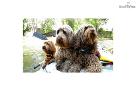 rocky mountain puppies puppies for sale from rocky mountain labradoodles nextdaypets