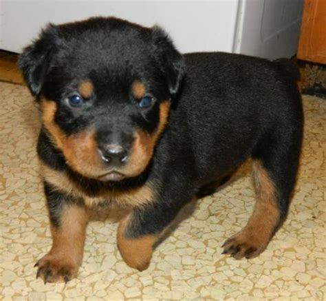 rottweiler puppies for sale in massachusetts rottweiler for sale in worcester petzlover