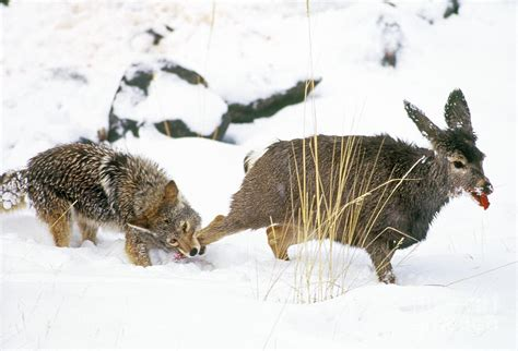 will a coyote attack a coyote attack deer www pixshark images galleries with a bite