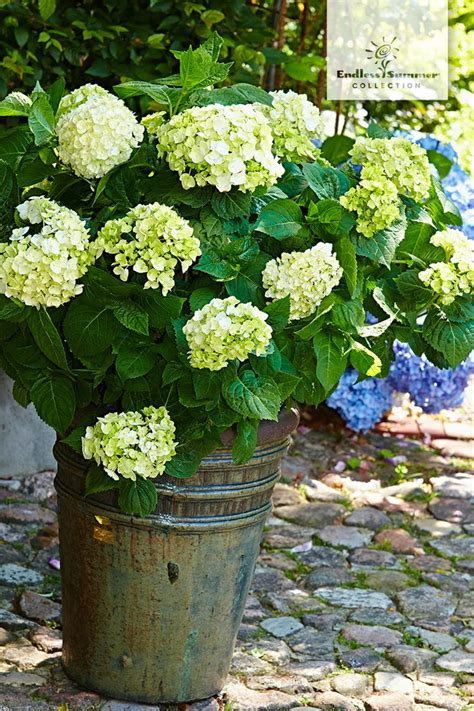 Hortensie Endless Summer The 1999 by 25 Best Ideas About Endless Summer Hydrangea On