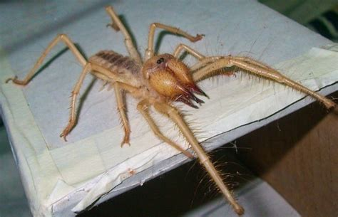 eclipsed turns out that spider does a afterall books look out these camel spiders will haunt your nightmares
