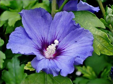 fiore di hibiscus hibiscus syriacus piante da giardino hibiscus syriacus