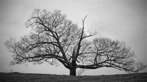 wallpaper black and white trees old tree black and white wallpapers hd decora 231 227 o