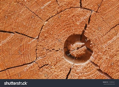 cross sectional cut lodgepole pine tree cross section showing stock photo