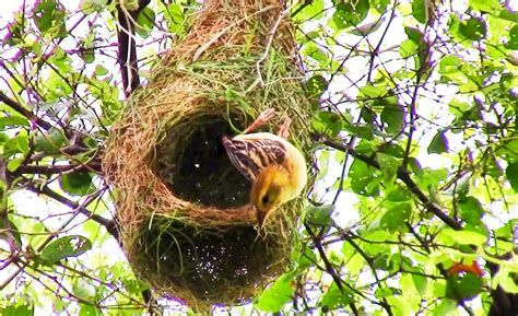 weaver bird nest www pixshark com images galleries
