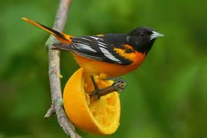 Attracting Bluebirds To Your Backyard Top 10 Wild Bird Foods Surfbirds Com