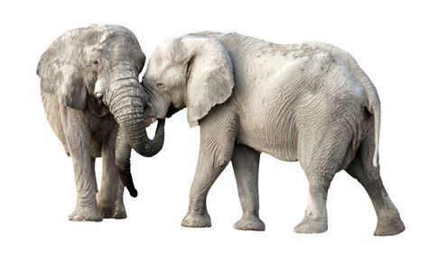 elephant fight png image pngpix