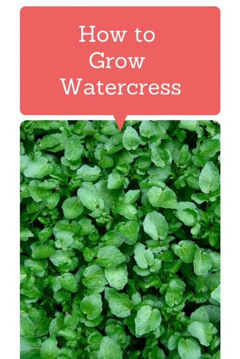 how to grow watercress this plant has more vitamin c than oranges more iron than spinach and