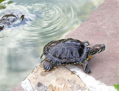 lade per tartarughe d acqua tartarughe d acqua dolce guida alle specie habitat