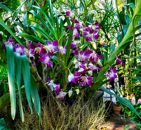 Pots For Sale by Dendrobium Orchid Care Cold Cool And Warm Dendrobiums