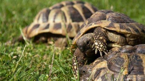 alimentazione dei ricci di terra tartarughe di terra tartarughe caratteristiche delle