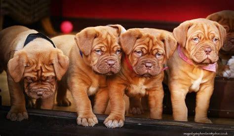 dogue de bordeaux puppies for sale in last three dogue de bordeaux puppies for sale stoke on trent staffordshire pets4homes