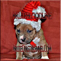 pitbull puppies for sale in maine 1000 images about bully style pitbulls on bully pitbull pitbull puppies