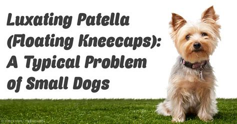luxating patella in dogs to p a z alaskan klee