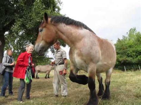 dati cavalli cavalle belga da tiro mvi 0350